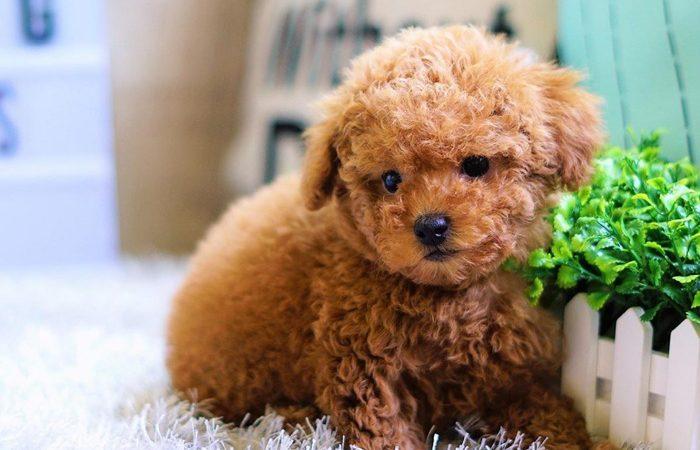 Địa chỉ mua chó poodle nâu uy tín chất lượng tại Hà Nội